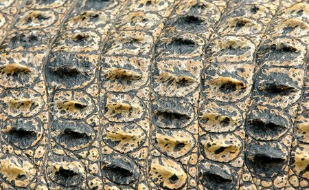 alligator: crocodile skin Stock Photo