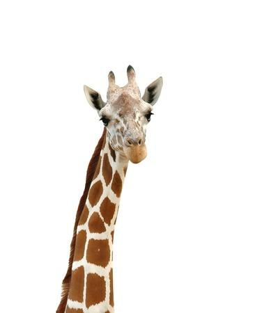 giraffe head isolated photo