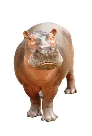 hipopótamo aislado