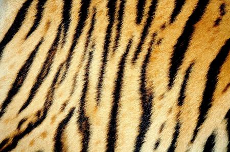 animal skin:  tiger skin