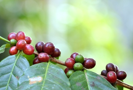coffee harvest: coffee bean on tree