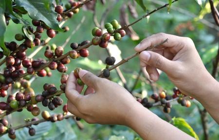 frijoles rojos: cosecha de caf�