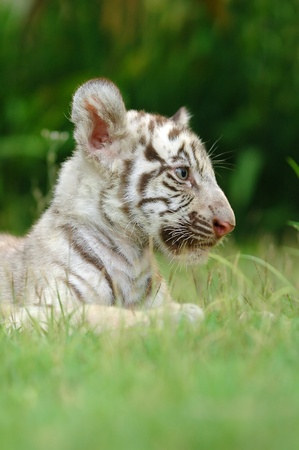 baby white tiger Stock Photo - 8883747