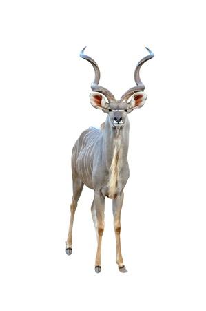 kudu isolated photo