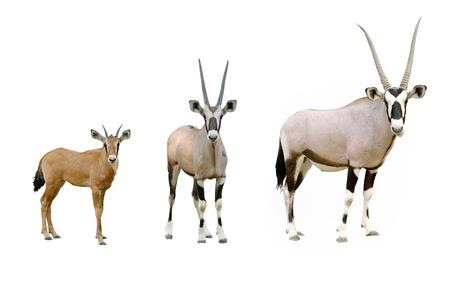 oryx: oryx isolated