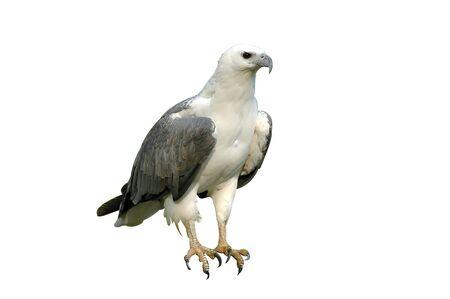 sea eagle isolated photo
