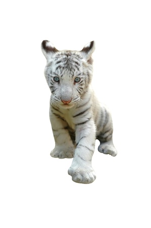 white tigers: white tiger isolated