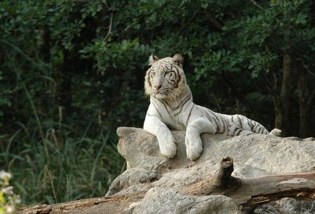 white tiger in chiang mai night safari photo