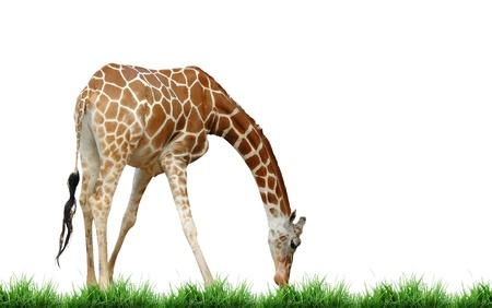 giraffe eat grass photo