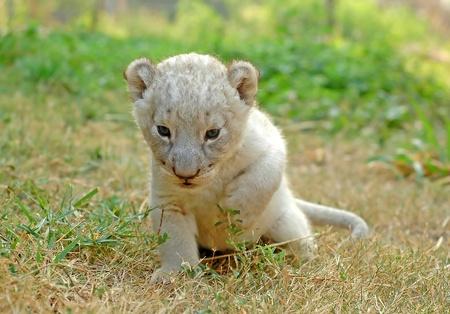 lion baby: Leone di bambino Archivio Fotografico
