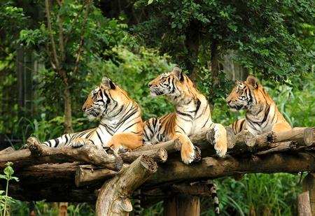 Бенгалия: Бенгальский тигр Фото со стока