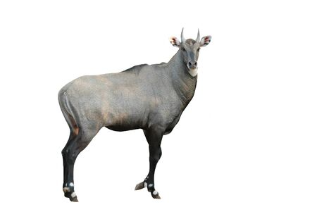 nilgai isolated Stock Photo - 9002602