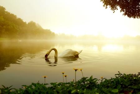 lagoas: cisne