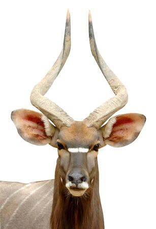 antelope: nyala head isolated Stock Photo