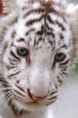 baby white tiger close up photo