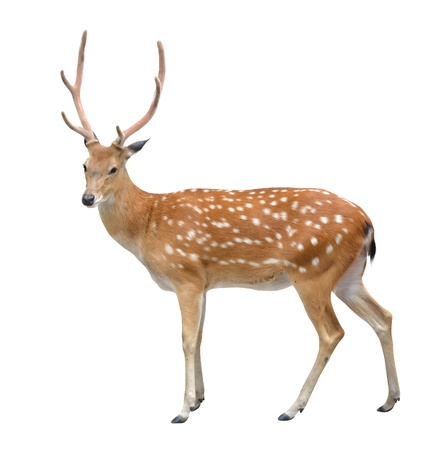 male sika deer isolated on white background photo