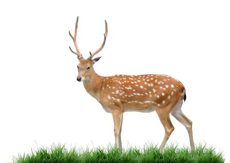 male sika deer and green grass isolated