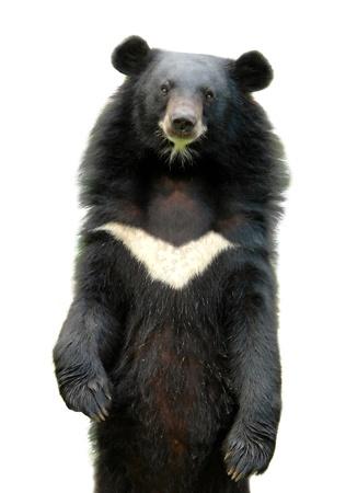 asiatic black bear isolated on white background