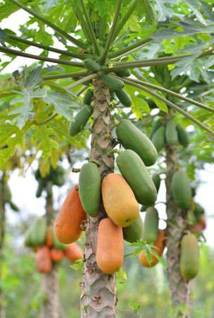 Bunch of papayas hanging from the tree  photo