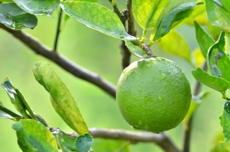 Fresh green lime on a tree  photo