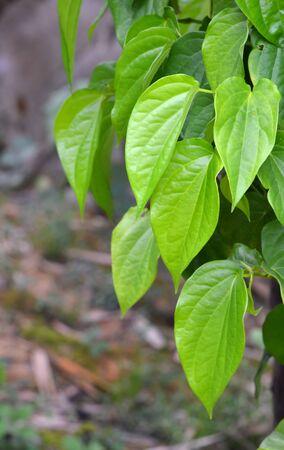 piperaceae: fresh Betle Leaf, the traditional thai herb