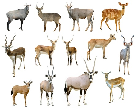 antelope collection isolated on white background photo