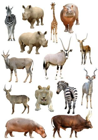 jirafa: colecci�n de animales africanos aislada sobre fondo blanco Foto de archivo