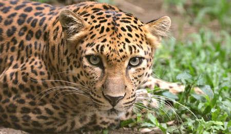 leopard head: A closeup of a leopard