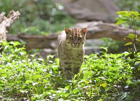 prionailurus: Portrait of  fishing cat (Prionailurus viverrinus)  Stock Photo