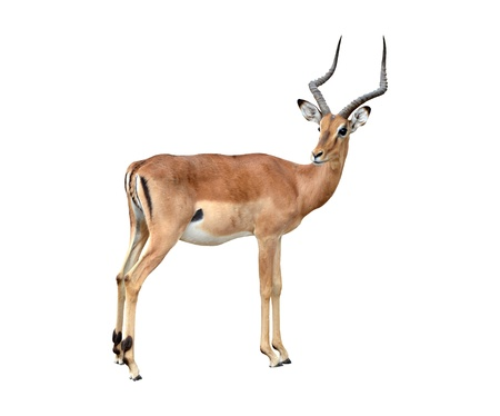 mannelijke impala geïsoleerd op een witte achtergrond Stockfoto