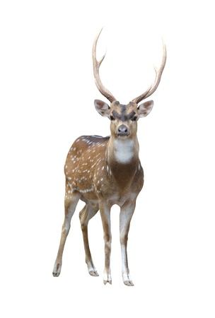 cabeza: Ciervo de eje aislado sobre fondo blanco