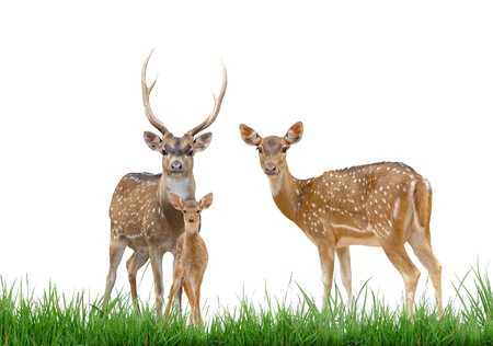 axis deer family with green grass isolated on white background Stock Photo - 9843088