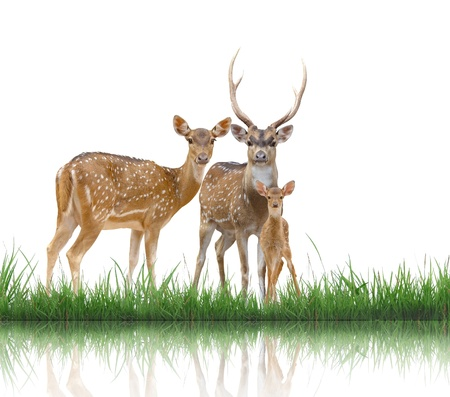 axis: familia ciervo axis con la hierba verde sobre fondo blanco Foto de archivo