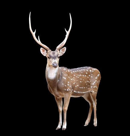 axis deer: male axis deer isolated on black background