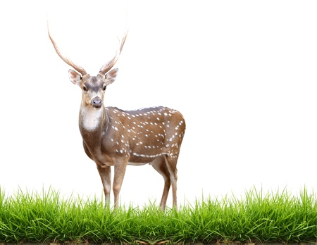 maie axis deer with green grass isolated  Stock Photo
