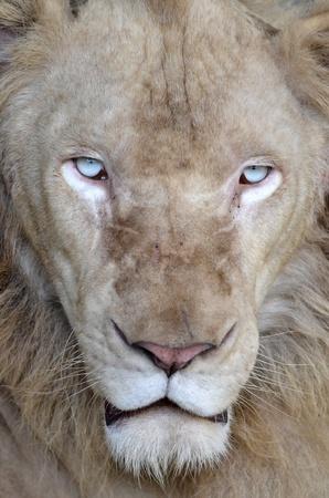 male white lion in chiang mai night safari thailand Stock Photo - 10292101
