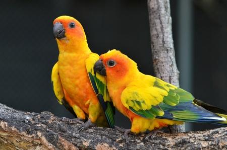 loros verdes: Sun Conure loro en la rama de un �rbol Foto de archivo