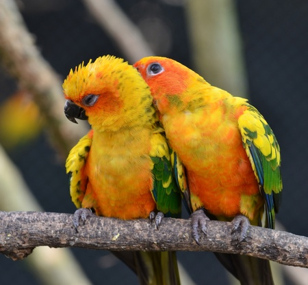 Sun Conure Parrot on a Tree Branch Stock Photo - 10291932