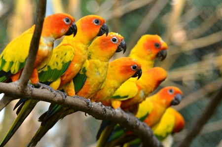 love birds: Sun Conure Parrot on a Tree Branch Stock Photo