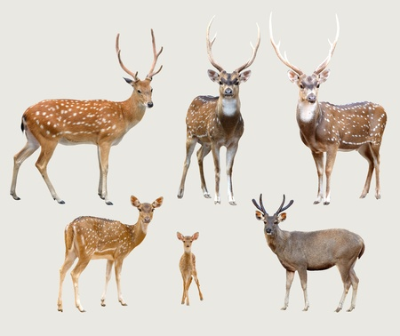 axis deer: sika deer, axis deer, samba deer isolated on gray background