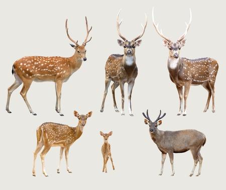 venado: venado Sika, ciervo axis, ciervo de samba aislada sobre fondo gris Foto de archivo