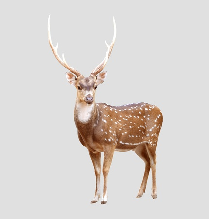 background deer: male axis deer isolated on gray background Stock Photo