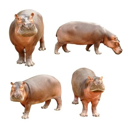 hippopotamus: hipopótamo aisladas sobre fondo blanco