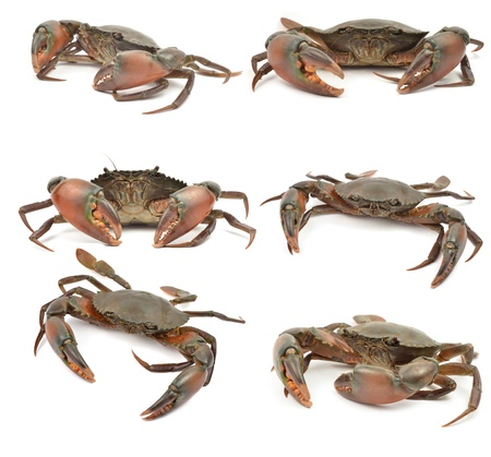 crab isolated on white background Stock Photo - 10388241