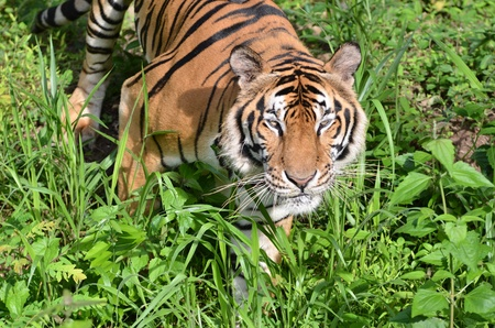 yellow tigers: indochinese tiger, panthera tigris in nature Stock Photo
