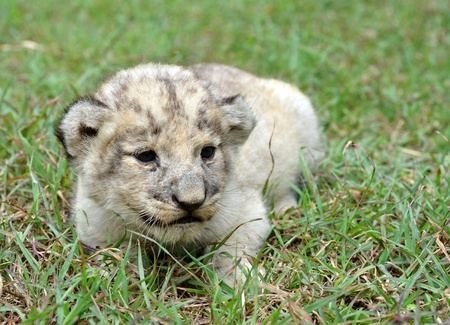 baby lion in chiang mai night safari photo
