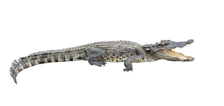 crocodile isolated on white background Standard-Bild