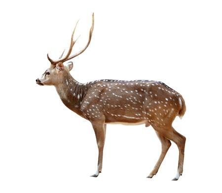 an ungulate: cervo maschio asse isolato su sfondo bianco Archivio Fotografico