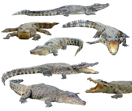cocodrilos: colecci�n de cocodrilo aisladas sobre fondo blanco Foto de archivo