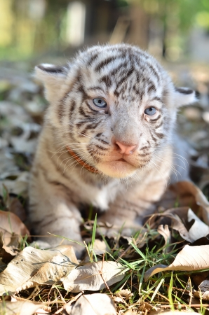 baby white tiger in zoo photo